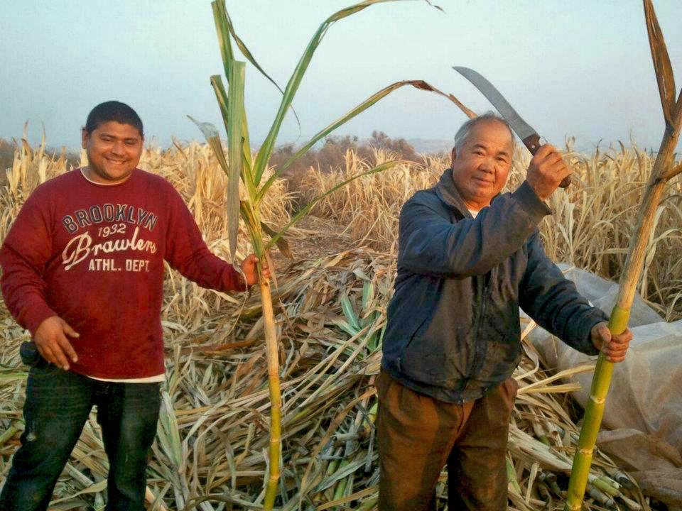 farming-cane